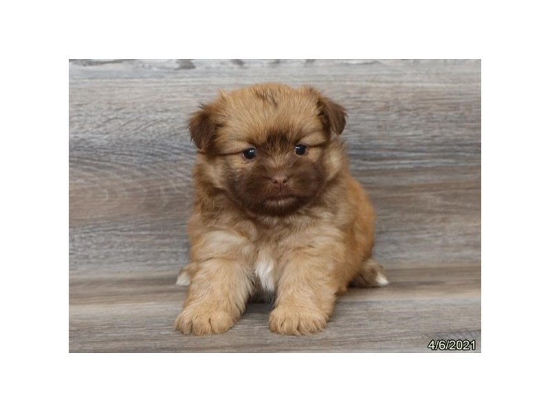 Shiranian - Coming Soon-DOG-Female-Chocolate-3121602-PetCenter Old Bridge Puppies For Sale