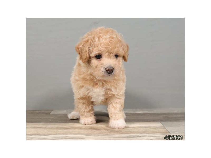 Bichon Poo - Coming Soon-DOG-Female-Buff-3121603-PetCenter Old Bridge Puppies For Sale