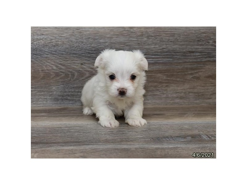 Maltese - Coming Soon-Female-White-3131942-PetCenter Old Bridge Puppies For Sale