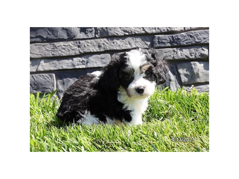 Cavachon - Coming Soon-DOG-Male-Tri-Colored-3132085-PetCenter Old Bridge Puppies For Sale