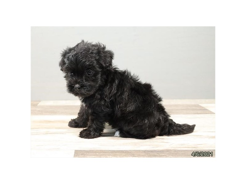 Havapoo - Coming Soon-DOG-Male-Black-3132094-PetCenter Old Bridge Puppies For Sale