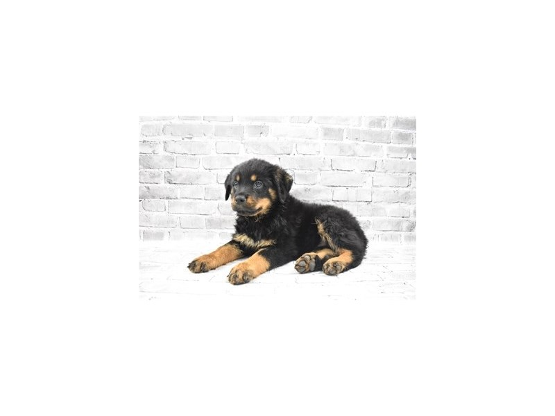 Rottweiler - Coming Soon-DOG-Female-Black and Mahogany-3132524-PetCenter Old Bridge Puppies For Sale