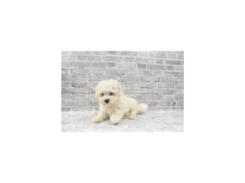 Biton - Coming Soon-DOG-Male-White-3132635-PetCenter Old Bridge Puppies For Sale