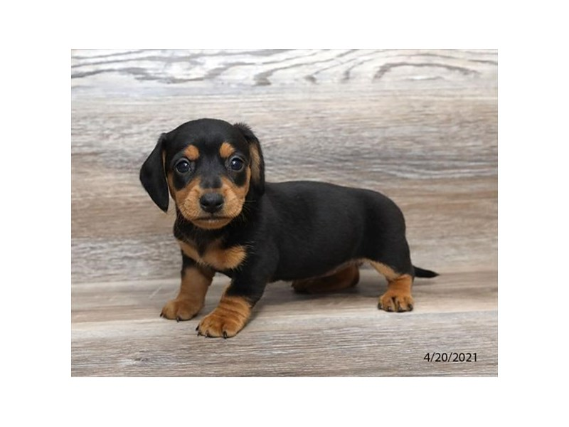 Dachshund - Available 5/20-DOG-Female-Black / Tan-3139491-PetCenter Old Bridge Puppies For Sale