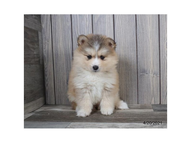 Pomsky - Available 5/20-DOG-Female-Black Sable-3139492-PetCenter Old Bridge Puppies For Sale