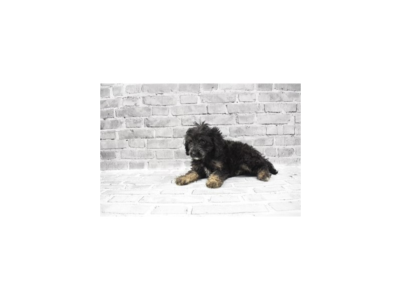 Cavapoo - Avaliable 5/20-DOG-Female-Black and Apricot-3143175-PetCenter Old Bridge Puppies For Sale