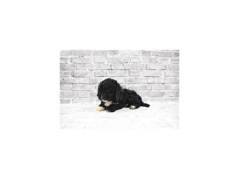 Cavapoo - Avaliable 5/20-Male-Black-3143176-PetCenter Old Bridge Puppies For Sale