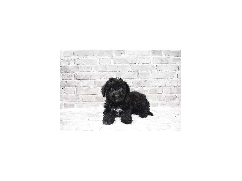 Bichon Poo - Available 5/20-DOG-Male-Black-3143221-PetCenter Old Bridge Puppies For Sale