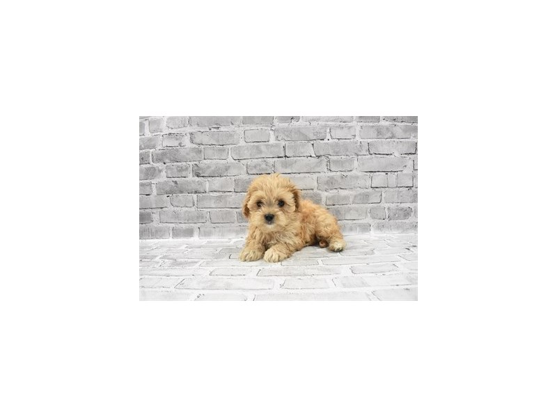 Cavachon - Available 5/20-DOG-Male-Cream-3143238-PetCenter Old Bridge Puppies For Sale