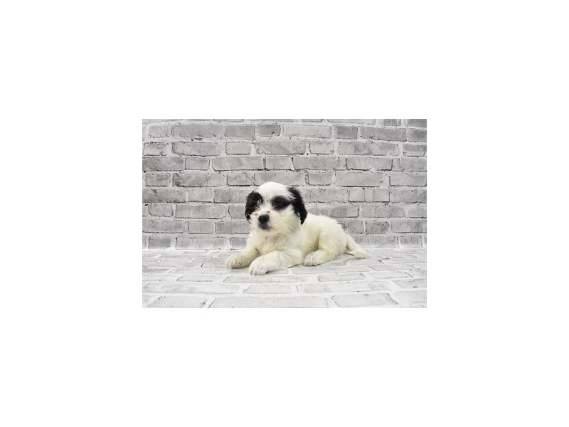 Teddy Bear - Available 5/20-DOG-Male-Black and White-3143339-PetCenter Old Bridge Puppies For Sale
