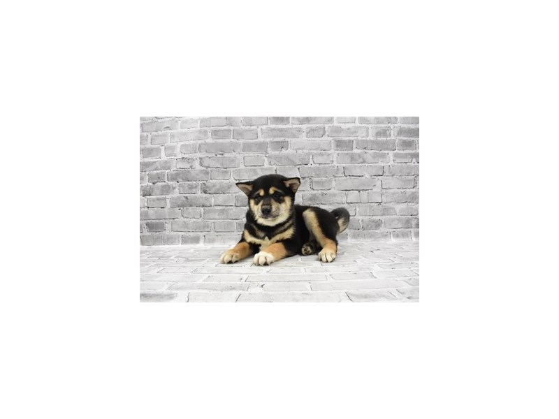 Shiba Inu - Available 5/20-DOG-Male-Black and Tan-3143360-PetCenter Old Bridge Puppies For Sale