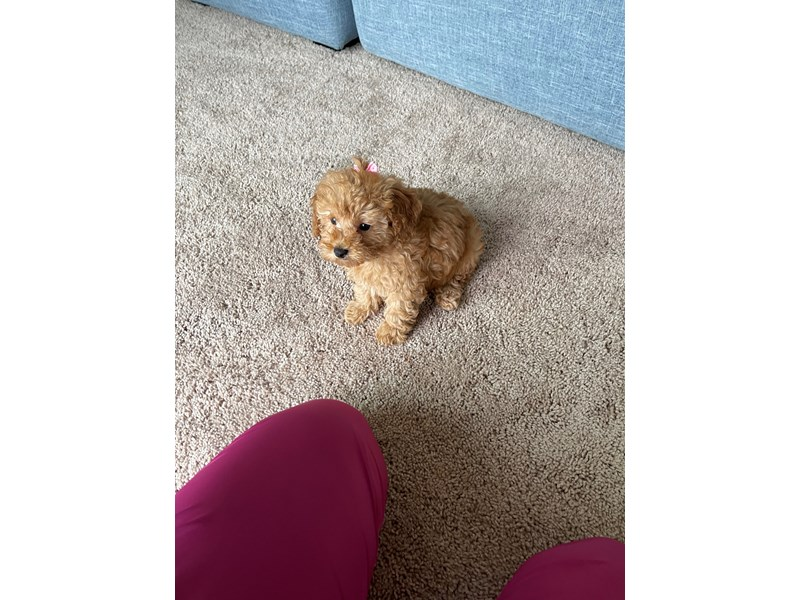 Poodle - Available 5/20-DOG-Female-Red-3140353-PetCenter Old Bridge Puppies For Sale