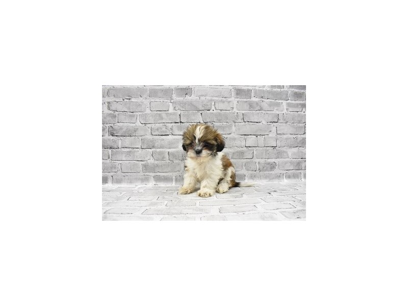 Shih Tzu - Available 5/27-DOG-Female-Gold and White-3153470-PetCenter Old Bridge Puppies For Sale