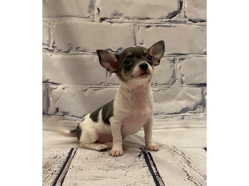 Chihuahua - Available 5/27-DOG-Female-Blue and Tan-3153529-PetCenter Old Bridge Puppies For Sale