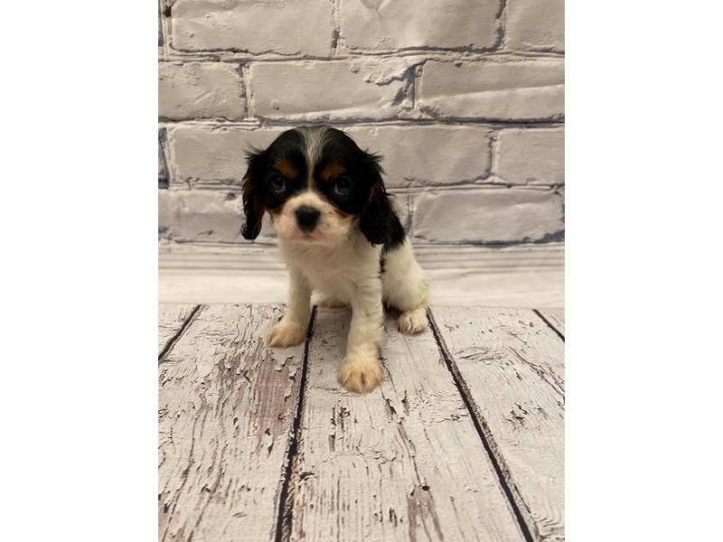 Cavalier King Charles Spaniel - Available 5/27-DOG-Female-Tri Color-3153480-PetCenter Old Bridge Puppies For Sale