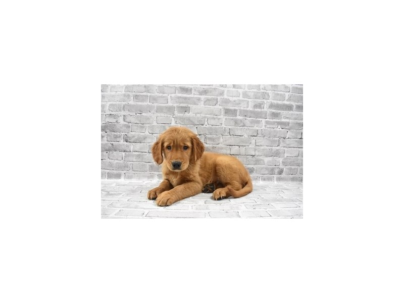 Golden Retriever - Coming Soon-DOG-Male-Dark Golden-3121238-PetCenter Old Bridge Puppies For Sale