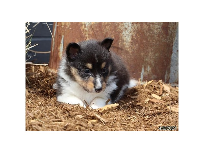 Shetland Sheepdog - Coming Soon-DOG-Female-Tri-Colored-3121601-PetCenter Old Bridge Puppies For Sale