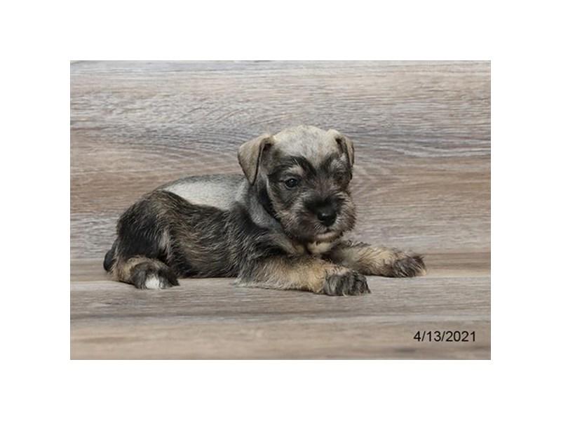 Miniature Schnauzer - Coming Soon-DOG-Male-Salt / Pepper-3131937-PetCenter Old Bridge Puppies For Sale
