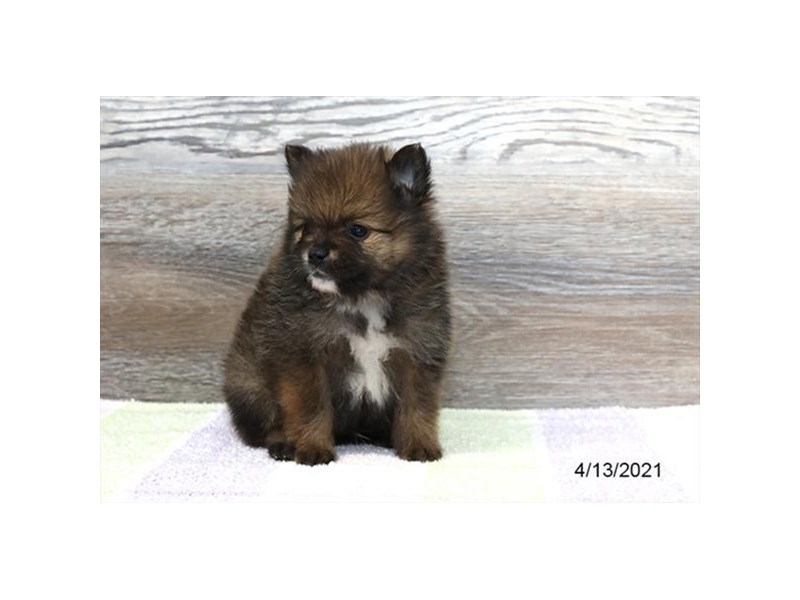 Pomeranian - Coming Soon-DOG-Male-Dark Sable-3131939-PetCenter Old Bridge Puppies For Sale