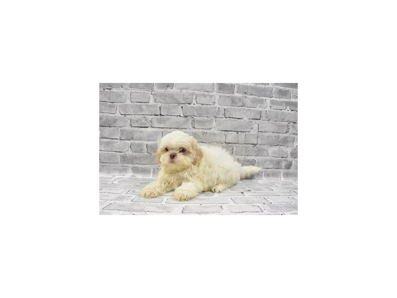 Shih Tzu - Coming Soon-DOG-Male-Gold and White-3132676-PetCenter Old Bridge Puppies For Sale