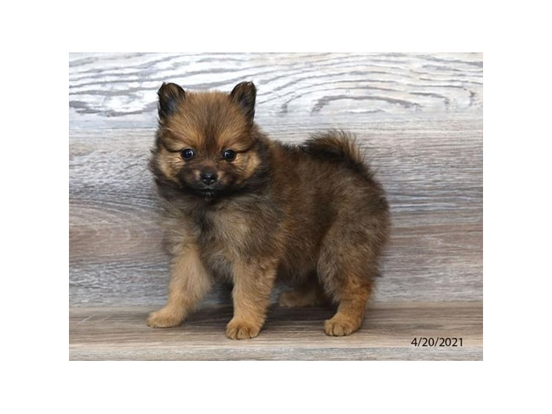 Pomeranian - Available 5/20-DOG-Female-Dark Sable-3139490-PetCenter Old Bridge Puppies For Sale