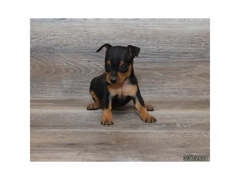 Miniature Pinscher - Available 5/20-DOG-Female-Black / Tan-3139493-PetCenter Old Bridge Puppies For Sale