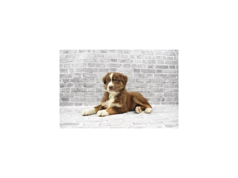 Australian Shepherd - Available 5/20-DOG-Male-Red-3143302-PetCenter Old Bridge Puppies For Sale