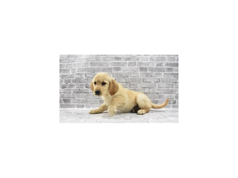 Golden Retriever - Available 5/20-DOG-Female-Golden-3143333-PetCenter Old Bridge Puppies For Sale