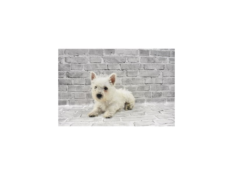 West Highland White Terrier - Available 5/27-DOG-Male-White-3153454-PetCenter Old Bridge Puppies For Sale