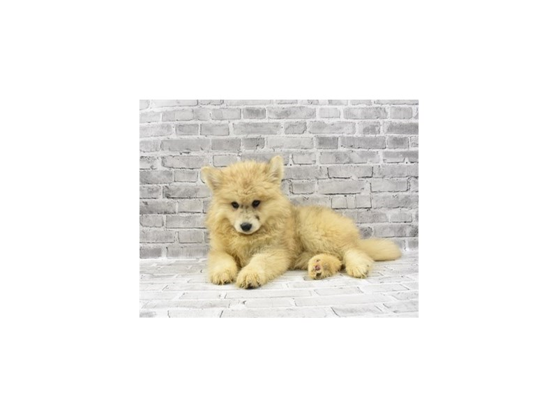 Pomsky - Available 5/27-DOG-Male-Cream-3153497-PetCenter Old Bridge Puppies For Sale