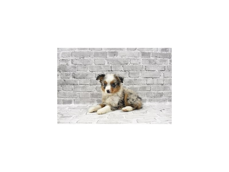 Toy Australian Shepherd - Available 5/27-DOG-Male-Blue Merle-3153581-PetCenter Old Bridge Puppies For Sale