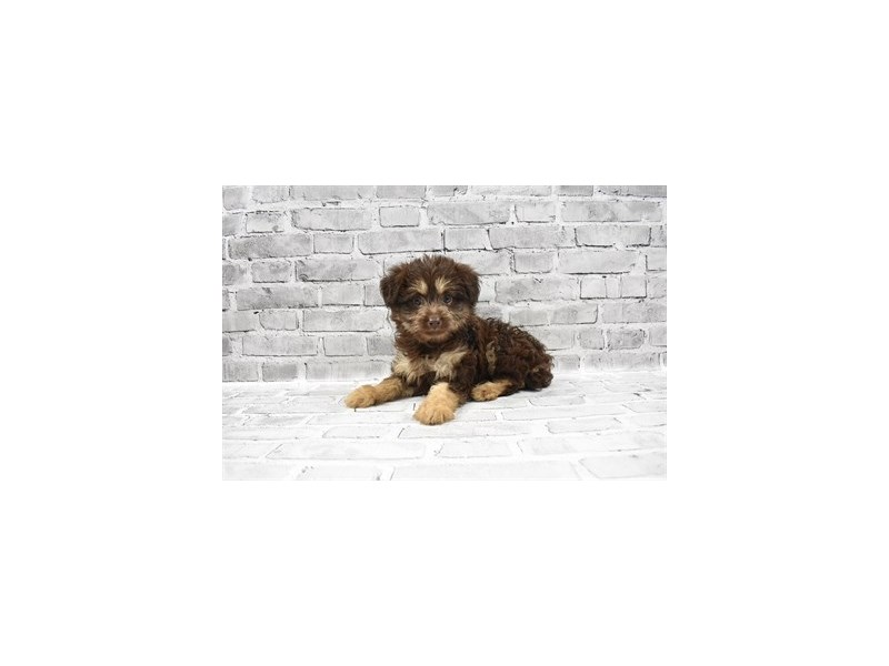 Aussiedoodle 2nd Gen - Available 5/27-DOG-Female-Chocolate and Tan-3153662-PetCenter Old Bridge Puppies For Sale