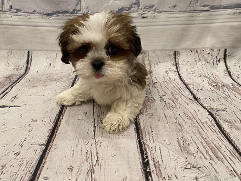 Lhasa Apso - Available 6/3-DOG-Male-Red / White-3161652-PetCenter Old Bridge Puppies For Sale