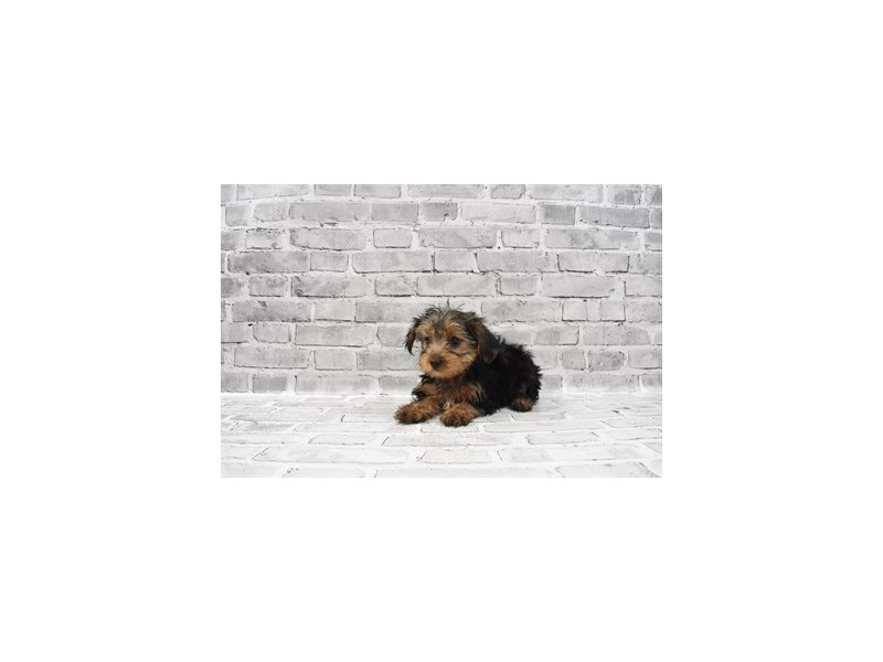 Yorkshire Terrier - Available 6/3-DOG-Male-Black and Tan-3162819-PetCenter Old Bridge Puppies For Sale