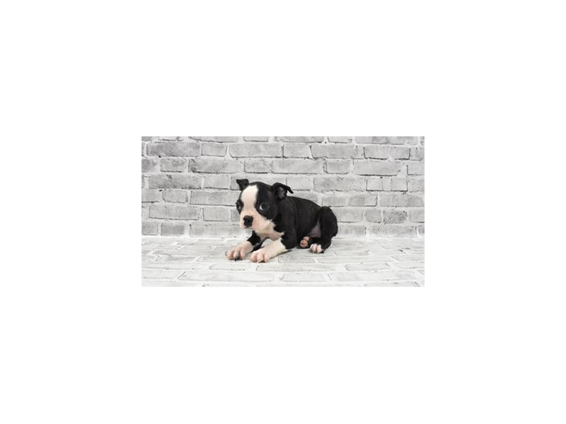 Boston Terrier - Available 6/3-DOG-Male-Black Brindle and White-3162844-PetCenter Old Bridge Puppies For Sale