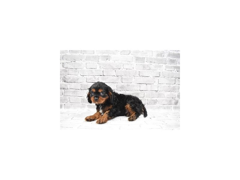 Cavalier King Charles Spaniel - Available 6/3-DOG-Male-Black and Tan-3162955-PetCenter Old Bridge Puppies For Sale