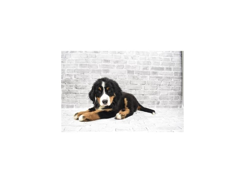 Bernese Mountain Dog - Available 6/3-DOG-Male-Black Rust and White-3162974-PetCenter Old Bridge Puppies For Sale