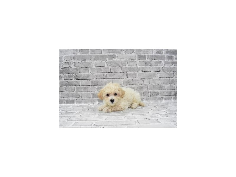 Bichon Poo - Available 6/3-DOG-Male-Cream-3163035-PetCenter Old Bridge Puppies For Sale