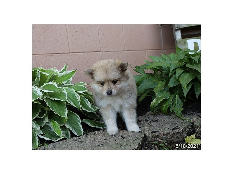Pomsky - Available 6/10-DOG-Female-Red Merle-3171155-PetCenter Old Bridge Puppies For Sale