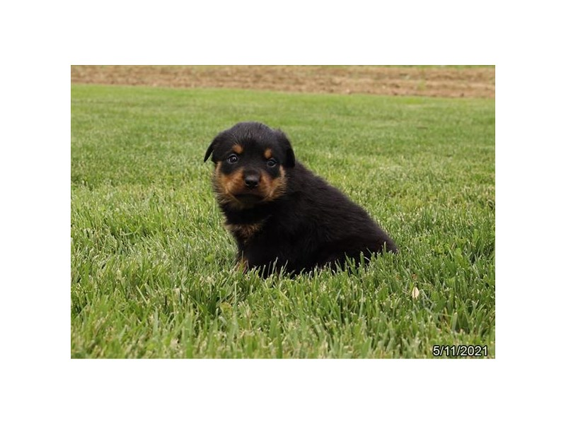 Rottweiler - Available 6/10-DOG-Female-Black / Tan-3171157-PetCenter Old Bridge Puppies For Sale