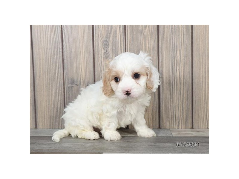 Cavachon - Available 6/10-DOG-Male-White-3171158-PetCenter Old Bridge Puppies For Sale