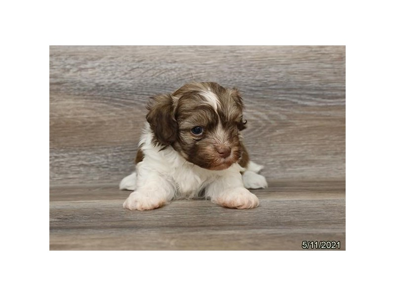 Havanese - Available 6/10-DOG-Male-Sable / White-3171161-PetCenter Old Bridge Puppies For Sale