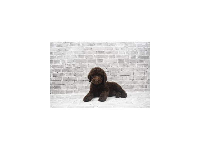 Standard Poodle - Available 6/10-DOG-Male-Brown-3172653-PetCenter Old Bridge Puppies For Sale