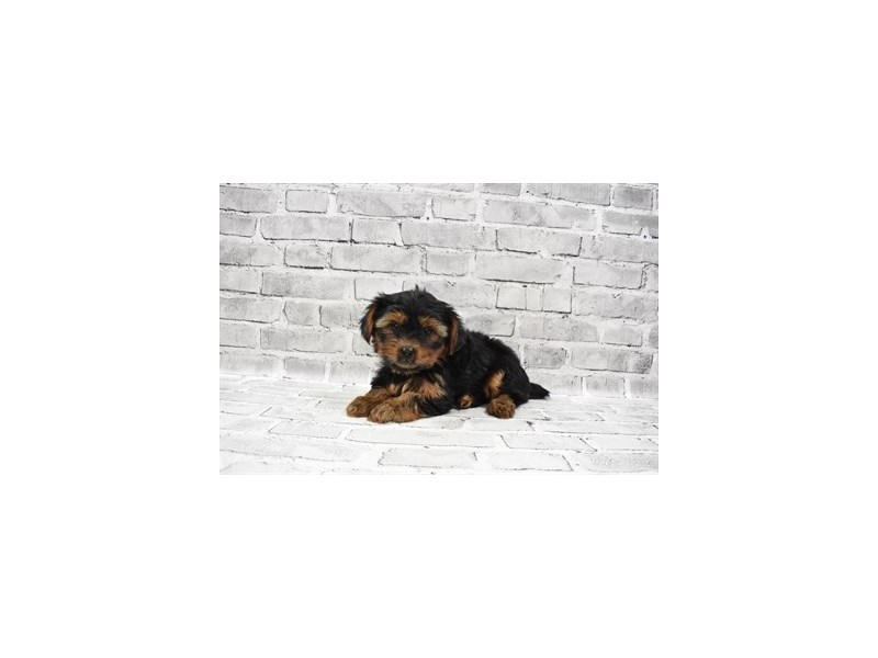 Yorkshire Terrier - Available 6/10-Male-Black and Tan-3172661-PetCenter Old Bridge Puppies For Sale