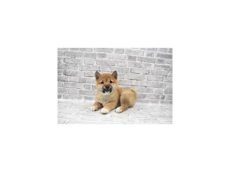 Shiba Inu - Available 6/10-DOG-Male-Red Sesame-3172712-PetCenter Old Bridge Puppies For Sale