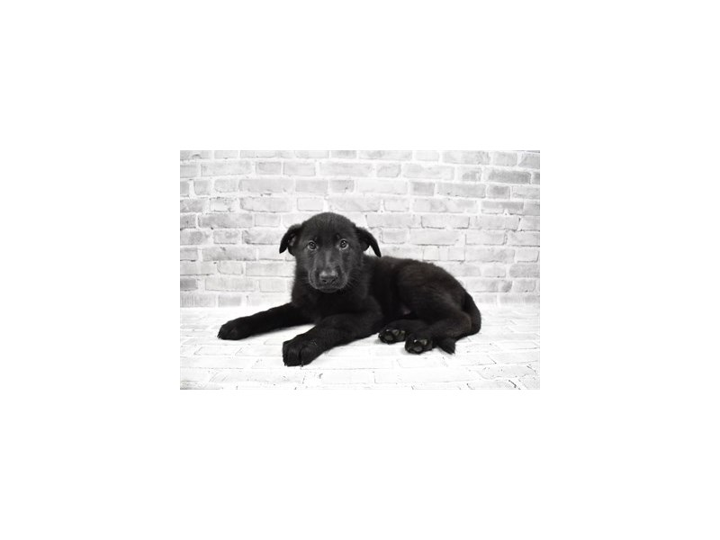German Shepherd - ADOPTED-DOG-Female-Black-3172779-PetCenter Old Bridge Puppies For Sale