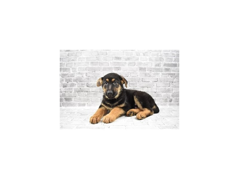 German Shepherd - Available 6/10-DOG-Male-Black and Tan-3172782-PetCenter Old Bridge Puppies For Sale