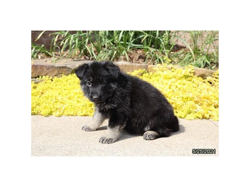 German Shepherd- Available 6/17-DOG-Female-Black / Tan-3180128-PetCenter Old Bridge Puppies For Sale
