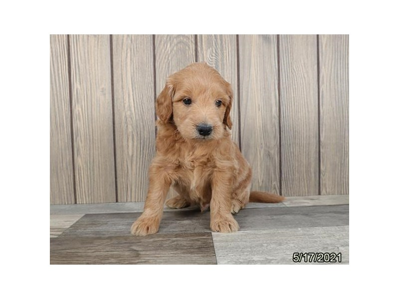 Mini Goldendoodle- Available 6/17-DOG-Male-Golden-3180130-PetCenter Old Bridge Puppies For Sale