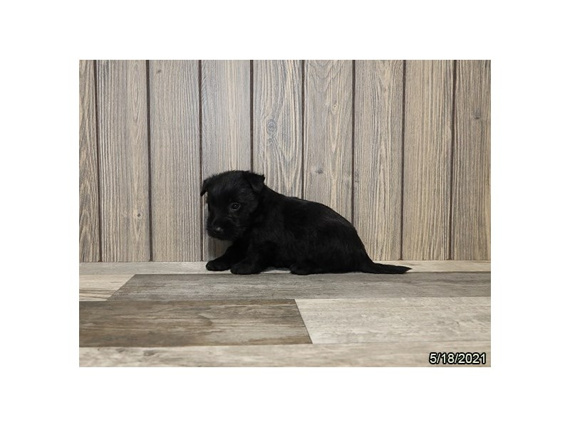 Scottish Terrier- Available 6/17-DOG-Female-Black-3180132-PetCenter Old Bridge Puppies For Sale